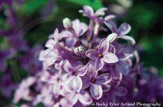 Lilac Bush Macro Fine Art Photo Print by BeckyTylerArt on Etsy
