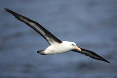 seabirds of sydney - Google Search