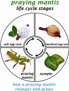 Life Cycle of a Praying Mantis Apologia Zoology 1 chapter 10