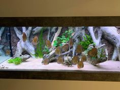 Our E8 model in a Discus Fish tank Diskus Aquarium, Cichlid Aquarium, Marine Aquarium, Discus Tank, Discus Fish, Fish Tank, Malawi Cichlids, African Cichlids, South American Cichlids