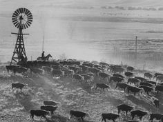 Cattle round up on S. Dakota cattle ranch, by Grey Villet 1960 Rodeo Cowboys, Real Cowboys, Cowboy Art, Cowboy And Cowgirl, Vintage Farm, Vintage Black, Cowboy Ranch, Cattle Drive, Dairy Cattle