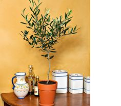 """Olive Tree in Long Tom Pot In its native Mediterranean region, the Olive (Olea europaea) has long been celebrated in myths, folklore, and scripture. Individual trees can live more than a hundred years, becoming ancient, gnarled forms. Our 18-20"""" plant bears small, fragrant white flowers and looks attractive in a terra-cotta long tom pot from Germany. Olive Trees will thrive in full sun with moderate watering."""