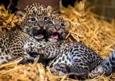 フランス北部モブージュ(Maubeuge)の動物園で、生まれたばかりのスリランカヒョウのメスの赤ちゃん(2014年7月29日撮影)。(c)AFP/PHILIPPE HUGUEN ▼30Jul2014AFP|スリランカヒョウの赤ちゃん2頭お披露目、フランス http://www.afpbb.com/articles/-/3021814 #Maubeuge #Sri_Lankan_leopard #Panthera_pardus_kotiya Panthère de Ceylan