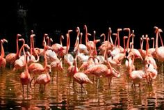 group of red south african flamingo in wild pool Stock Photo