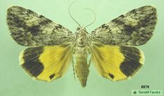 Catocala amica, the Girlfriend underwing, taken by courtesy of Gerald Fauske,  Richland County, North Dakota, Sheyenne National grasslands, August 16, 1996.