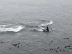 Southern Resident Orcas at Lime Kiln Point State Park - YouTube