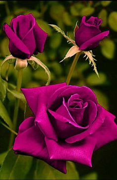 The miniature rose plant itself can grow to a height of four to five feet thus you can grow miniature roses in your garden.