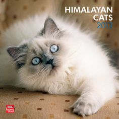 Himalayan Cats Wall Calendar: Himalayan cats are named after the colorful patterns found on rabbits and goats in the Himalayan Mountains. Developed by breeding Persians to Siamese, they have a gorgeous long, silky coat, an exceptionally short muzzle, and deep blue eyes.  $14.99  http://calendars.com/Cat-Breeds/Himalayan-Cats-2013-Wall-Calendar/prod201300004390/?categoryId=cat00183=cat00183#
