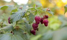 Las frambuesas son fáciles de cultivar en climas templados y frescos, y a pesar del espacio que ocupa una planta, merece la pena por sus abundantes cosechas. A continuación