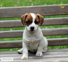 Jack Russell Terrier Puppy for Sale in Pennsylvania
