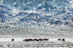 Timothy Allen  Nomadic herders lead a caravan of Bactrian camels through the desert beneath the Gobi Altai Mountains  http://twitter.com/MrTimothyAllen — in Mongolia.