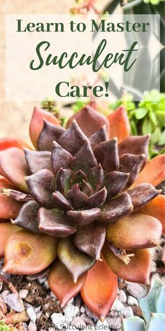 You can learn to master succulent care! Everything form how to water succulents to choosing the best soil and learning to prevent insects from troubling your plants! Discover detailed, specific guides to every facet of succulent care, so you can enjoy success with these charming, chubby plants! #succulents #succulentcare #succulentcareguide #succulentcareinstructions How To Water Succulents, Planting Succulents, Succulent Care, Garden Spaces, Indoor Plants, House Plants, Insects, Success, Learning