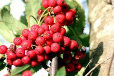 Jarzębina to drzewo ozdobne, które często można spotkać przy drogach, w parkach oraz w ogrodach działkowych. Wiele osób nie zdaje sobie sprawy, że owoce po odpowiednim przygotowaniu świetnie smakują i pasują do wielu dań. Konfitura z jarzębiny posiada wiele właściwości zdrowotnych. Pomaga przy kamicy nerkowej, a także łagodzi