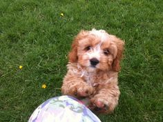 Cavapoo puppies for sale King Charles Spaniel, Cavalier King Charles, Cavapoo Puppies For Sale, Small Dog Breeds, Training Your Dog, Cute Baby Animals, Funny Animals, Dog Owners, Dog Toys