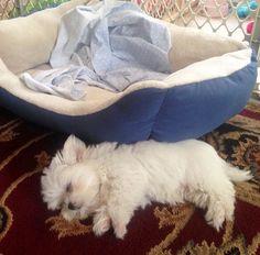 sleeping maltese
