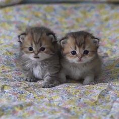 Cute Baby Cats, Cute Little Kittens, Cute Little Animals, Cute Funny Animals, Cute Dogs, Cute Kittens, Ragdoll Kittens, Tabby Cats, Bengal Cats