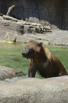 Brown Bear by AllieBran, via Flickr