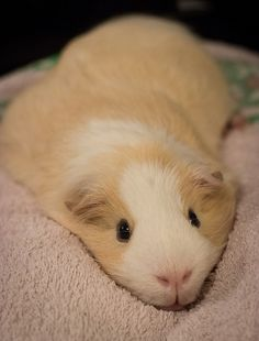 I think I'll just rest here... #cute #guineapig