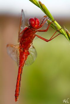 """Dragonfly"" by Andrea Visca Flying Insects, Bugs And Insects, Beautiful Bugs, Beautiful Butterflies, Beautiful Creatures, Animals Beautiful, Horse Caballo, Es Der Clown, Cool Bugs"