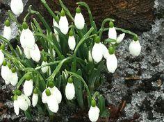 Snowdrops Winter Garden, Plants, Sun Room, Planters, Plant, Indoor Greenhouse, Planting, Winter Container Gardening