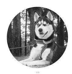 Husky Dog Popsocket Animal Pop Up Phone Holder