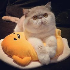 I have #Gudetama  as my new cat pillow tonight  Sweet dreams everyone  by @tubbiebabie cat enclosures  cat cats kitty cute catlover catsofinstagram catcam instacat catstagram catsagram lovecats cat product reviews