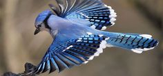 The blue jay (Cyanocitta cristata) is a passerine bird in the family Corvidae, native to North America...