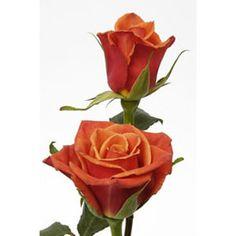 Dark Milva Terracotta Rose - $150 for $249.99