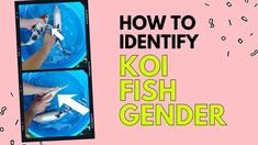 Koi Gender How To Identify Koi Fish Gender Fish Breeding, Koi Fish Pond, Gender, Learning, Studying, Teaching, Music Genre, Onderwijs