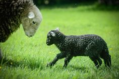 A Herdy telling off