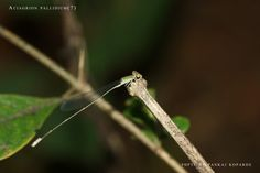 by Pankaj Koparde  Aciagrion pallidium  This interesting damselfly was sighted at sitting on a dead twig. Its thoracic colors are really brilliant and beautiful.  Location: Pophali, MH, India  Date: 28/11/2011