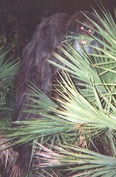 An anonymous woman mailed these photographs to Sarasota Sheriff's Department in Florida. Accompanying the photos was a letter saying that this strange ape-like creature had been in her backyard on several occasions stealing apples out of a basket on her porch. She was convinced that the animal was an escaped orangutan, but others believe that this is photographic evidence of a Bigfoot like creature that is native to the Florida wilderness known as the skunk ape.