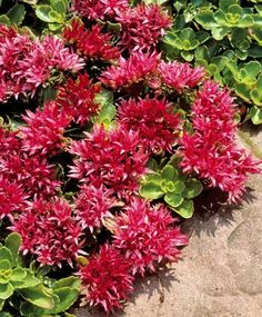 A perennial that has round rusty red leaves, creeping red sedum sports bright red flowers in a star-like shape from June to September.