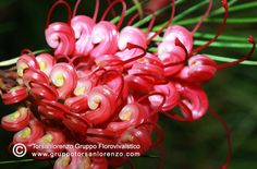 #Grevillea _johnsonii #best_flower