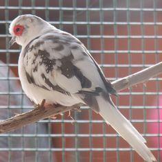 Chicharo - blue pied male diamond dove.