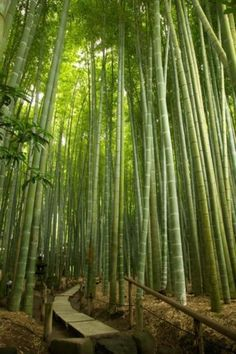 40 Giant ' Moso ' Bamboo Seeds (Phyllostachys Pubescens) USA Seller! Free Ship!