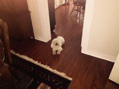 Lost poodle San Antonio Texas.