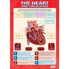 The Heart and Circulation |Science Educational Wall Chart/Poster in high gloss paper (A1 840mm x 584mm) - A beautifully illustrated & colourful wall chart containing enticing images and informative text. Finished in high gloss or laminated paper, measuring 584 mm by 840 mm (overall size of laminate 594 mm x 850 mm), the large A1 size makes the bright and informative chart highly readable from a distance, complementing every learning environment. Clear and colourful, desig
