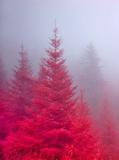 Yes, there are pink trees in NC in the fall and they're absolutely amazing! Crimson Mist, Blue Ridge Parkway, North Carolina