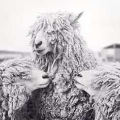 Sheep Art Animal Photography Sheep Photograph Animal Art Print Black White Photography Print Wall Decor Black and White Sheep Photography Print by Allison Trentelman ro. White Photography, Animal Photography, Fine Art Photography, Artistic Photography, Photography Ideas, Amazing Animals, Cute Animals, Farm Animals, Duck Pictures