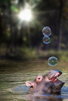 Submitted by: (via iBleeedorange) Tagged: cute , bubbles , hippo Share on Facebook