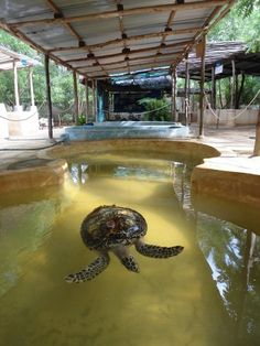 We run the only Sea Turtle Rescue and Rehabilitation Centre on the East African seaboard. This is a fantastic facility and is also helping us research these incredible animals. The centre has 8 purpose built holding tanks, with 2 smaller tanks. We have acquired considerable knowledge and expertise in treating and caring for sick and injured turtles and are now able to care for up to 10 turtles at a time.Rehabilitation Centre