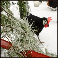 Black White Faced Spanish hen in the snow