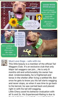 HAPPYTEARS ❤️❤️❤️ SAFE❤️❤️ 6/23/16❤️Manhattan Center CHEVY – A1076223 **SAFER: EXPERIENCED HOME** MALE, TAN / WHITE, AM PIT BULL TER MIX, 9 mos OWNER SUR – EVALUATE, NO HOLD Reason OWNER DIED Intake condition UNSPECIFIE Intake Date 06/04/2016, From NY 10459, DueOut Date 06/04/2016 http://nycdogs.urgentpodr.org/2016/06/chevy-a1076223/