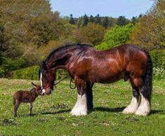 Noble Animals ~ A fabulous shire horse and his little donkey buddy. ❤️ Noble Animals ~ A fabulous shire horse and his little donkey buddy. Big Horses, Cute Horses, Pretty Horses, Horse Love, Beautiful Horses, Animals Beautiful, Beautiful Creatures, Work Horses, Farm Animals