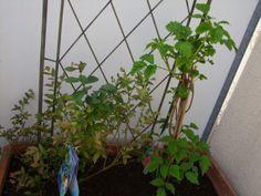 Foto: links Blaubeerbusch, rechts Himbeerstrauch / © Der grüne Mami Blog