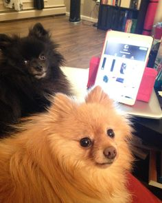 1000 FOLLOWERS We want to thank each and everyone in our IG family for all your love likes and comments! Thank you for your support over the last 3 months and we hope you'll stick around to let us put more smiles on your faces The best is yet to come #Pom #pomeranian #yegpets #yegpoms #instadogs #pomeranianpage #poshpamperedpets #dog_features #thedailypompom #dogfeaturing #dogsofinstaworld #lacyandpaws #cutiepatooties #barkleythepomsquad #pawsandpaws #pomeranianpage #cutestdogsintheworld…