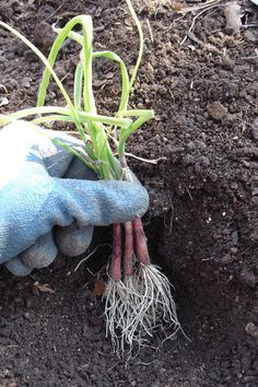 How to Grow Onions | @Bonnie Plants