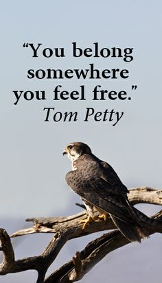 """""""You belong somewhere you feel free."""" Tom Petty – On image of prairie falcon, Tucson, Arizona, by F. McGinn -- Explore journey quotes, both ancient and modern, at http://www.examiner.com/article/travel-a-road-of-literate-quotes-about-the-journey"""