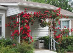Tulsa Gentleman: A pair of Climbing Blaze roses arch across my front porch.  They make a great show at this time of year and have a few blooms over the summer.  Occasionally a car will stop in the street just to admire them (which pleases me to no end).